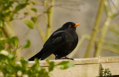 Blackbirds by Paul Evans | Nature Flash | Scoop.it