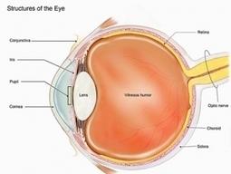CÉCITÉ: Ils cultivent des cornées en laboratoire – Nature | Santé blog | La santé des yeux | Scoop.it