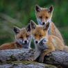 chti fox day