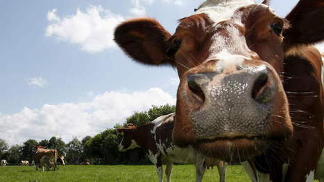 Bovine Intervention   Port Lincoln Times (Australia)   CALS in the News   Scoop.it