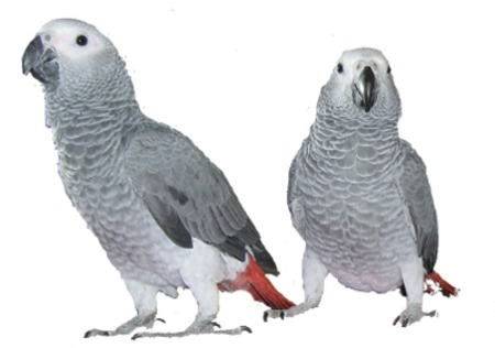 Buy Senegal Parrot Online | Blue and Gold Macaw
