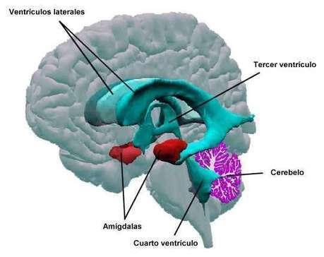 La amigdala: anatomía y manifestaciones ...