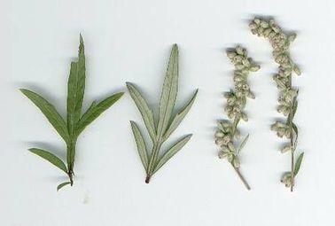 Kali Causticum and Vocal Cords | HWC | Homeopat
