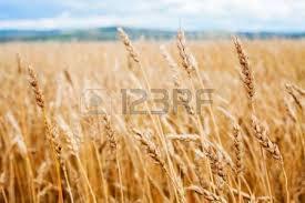 La Syrie en manque de blé