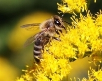 August 18 is National Honey Bee Day | Bees and Honey | Scoop.it