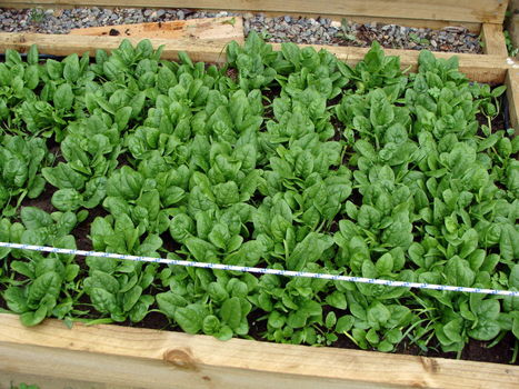 How to grow spinach, when to harvest, and how to store it | Garden Ideas by Team Pendley | Scoop.it