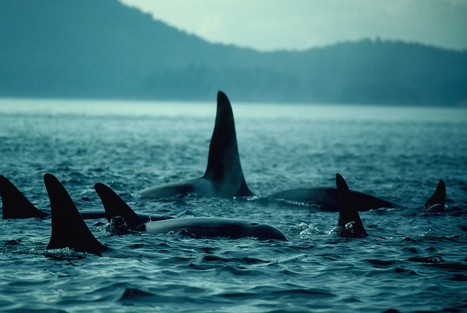'Severe reduction' in killer whale numbers during last Ice Age - Phys.Org   Ancient cities   Scoop.it