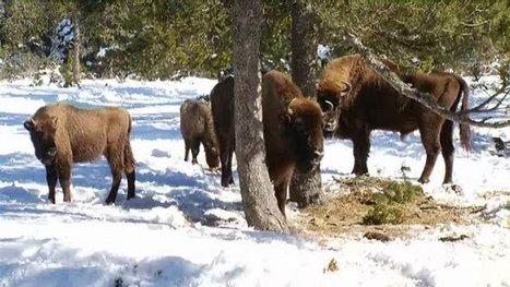 Ste Eulalie : visite de la réserve de bisons en traineau | Margeride | Scoop.it