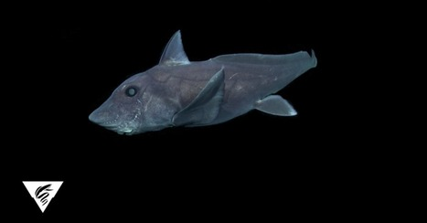 To figure out how ghost sharks evolved, scientists virtually reconstructed an ancient shark brain | All about water, the oceans, environmental issues | Scoop.it
