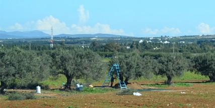 La Tunisie va récolter trois fois plus d'olives qu'en 2016-2017