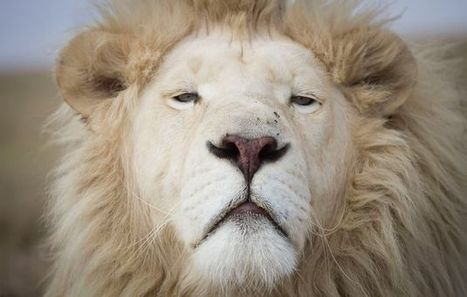 SA farmers fingered in lion smuggling | Rhino poaching | Scoop.it