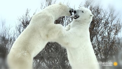 A Beloved Alpha Polar Bear Near the End of His Life   Gaia Diary   Scoop.it