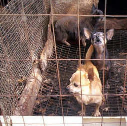 The Truth About Puppy Mills & Pet Stores | The Dogington Post | MagCast Articles | Scoop.it