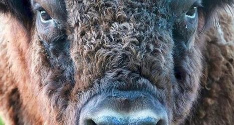 Comment le bison vote pour choisir son itinéraire | Mindful Decision Making | Scoop.it