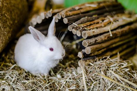 Rabbit Breeds, Rabbit Meat, Rabbit Fur Availabl