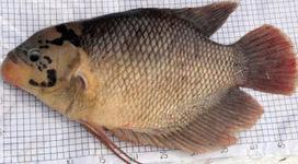 Cara Budidaya Ikan Gurame Lengkap Umpan Ikan