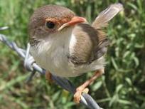 L'oiseau qui apprend des mots de passe à ses oeufs pour les distinguer des coucous | Sauvegarde et Protection des animaux | Scoop.it