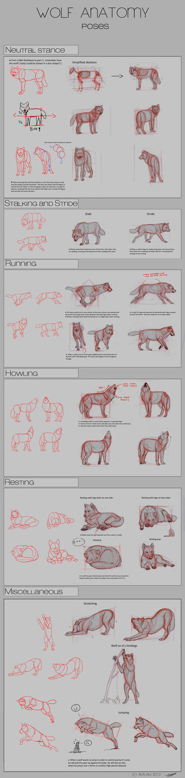 Wolf Anatomy In Drawing References And Resources