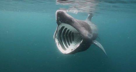 Vidéo plongée HD | Le requin pèlerin géant de 12 mètres ! | Plongeurs.TV | Scoop.it