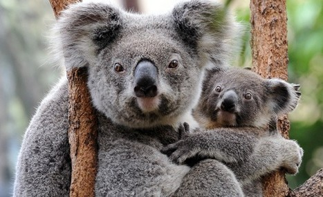 Koalas Are Enduring a Pandemic Like Those Our Ancestors Faced | Neuroanthropology | Scoop.it