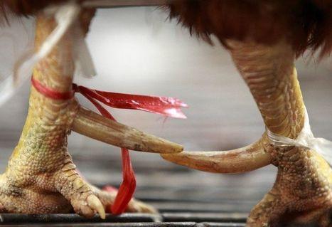 Grippe aviaire : la volaille est bien responsable du virus H7N9 | Toxique, soyons vigilant ! | Scoop.it