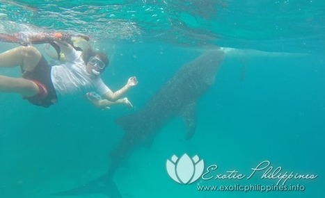 Swimming with the Whale Sharks in Oslob Cebu - Exotic Philippines | Business and Online | Scoop.it