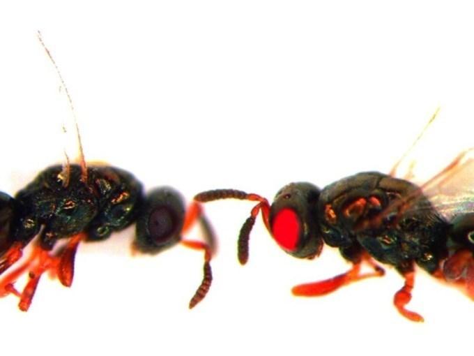 Llegan las avispas mutantes con ojos rojos &iqu...