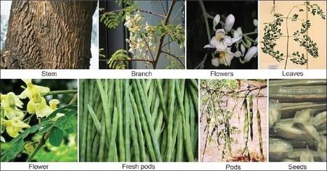 Moringa : The herbal gold to combat malnutrition   Miracle Moringa   Scoop.it