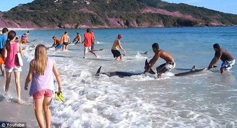 Brazil beached dolphins: Amazing video captures moment sunbathers rescue 30 beached dolphins | Brazilianisms | Scoop.it