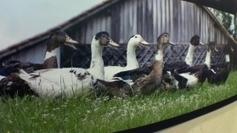 Aquitaine : la filière avicole dépendante du cours des céréales - France 3 Paris Ile-de-France | BIENVENUE EN AQUITAINE | Scoop.it