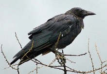 Crows share intelligence about enemies - Technology & Science - CBC News | Collective intelligence | Scoop.it