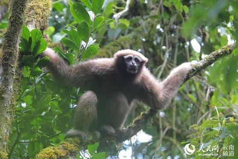 «Skywalker» : une nouvelle espèce de singe découverte en Chine | Biodiversité & Relations Homme - Nature - Environnement : Un Scoop.it du Muséum de Toulouse | Scoop.it