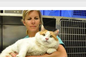 Someone Adopt This 39 Pound Cat! | Les chats c'est pas que des connards | Scoop.it