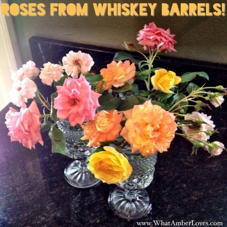A Story of Roses in Whiskey Barrels | All Things Rose | Scoop.it