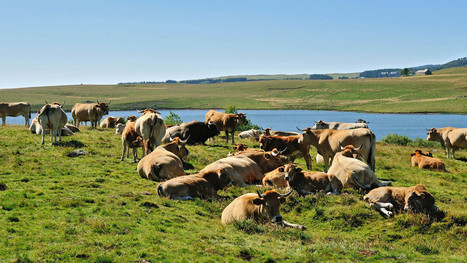 Traces du Fromage hike Aubrac-Laguiole en Aveyron, | France Festivals | Scoop.it