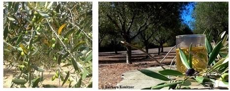 Bioaktive Olivenblätter - Tee für Gesundheit & Genuss - Ernährungsblog   Web-Ernaehrung   Scoop.it