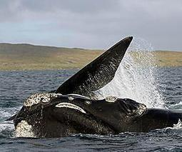 Africa's 'right-on' whale capital | Sustain Our Earth | Scoop.it