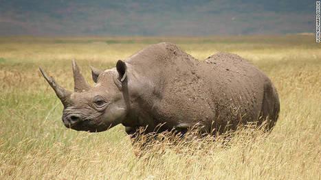 Western black rhino declared extinct | Totalmente Natura | Scoop.it