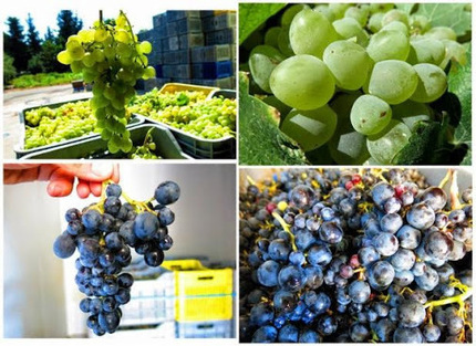 Cyprus wine from Cyprus grapes<br/>Researching indigenous grape varieties used in&hellip; | Wine Cyprus | Scoop.it