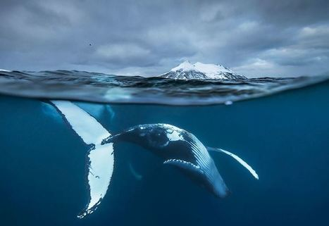 #baleine #Norvège #orque Biology Professor Photographs Arctic #Whales And His Photos Will Take Your Breath Away (10+ Pics) | Arctique et Antarctique | Scoop.it