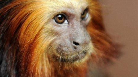 Vol de singes rares à Beauval : affaire classée - France 3 Centre-Val de Loire | Biodiversité | Scoop.it