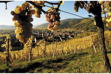 L'Alsace va manquer de vins tranquilles! | Vos Clés de la Cave | Scoop.it