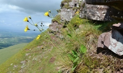 Wild flower discovered in Wales named after Sir David Attenborough | Leading for Nature | Scoop.it
