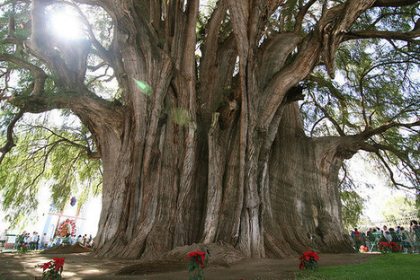 10 Most Famous Trees in the World   Tisanas   Scoop.it