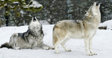 Saving Wolves | Forty Two: Life and Other Important Things | Scoop.it