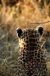 Stop Killing Leopards for Religious Clothing | Cats Rule the World | Scoop.it
