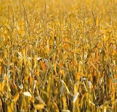 Union Européenne : vers une loi sur l'interdiction nationale des OGM ?   APMP NEWS   Scoop.it