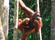 Imperiled Orangutans Need Key Forest Corridor | The Wild Planet | Scoop.it