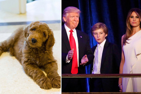 Donald Trump 'picks Goldendoodle as his White House pet...and he's named it Patton after the legendary WWII general' | THE MEGAPHONE | Scoop.it