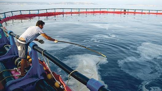 Sea slime is being collected and sold by fish farm operators